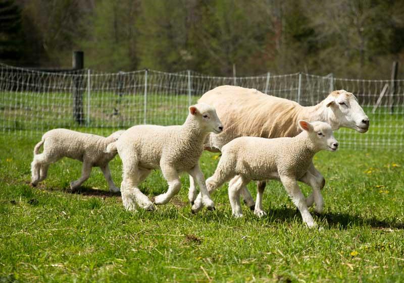 frisky lambs